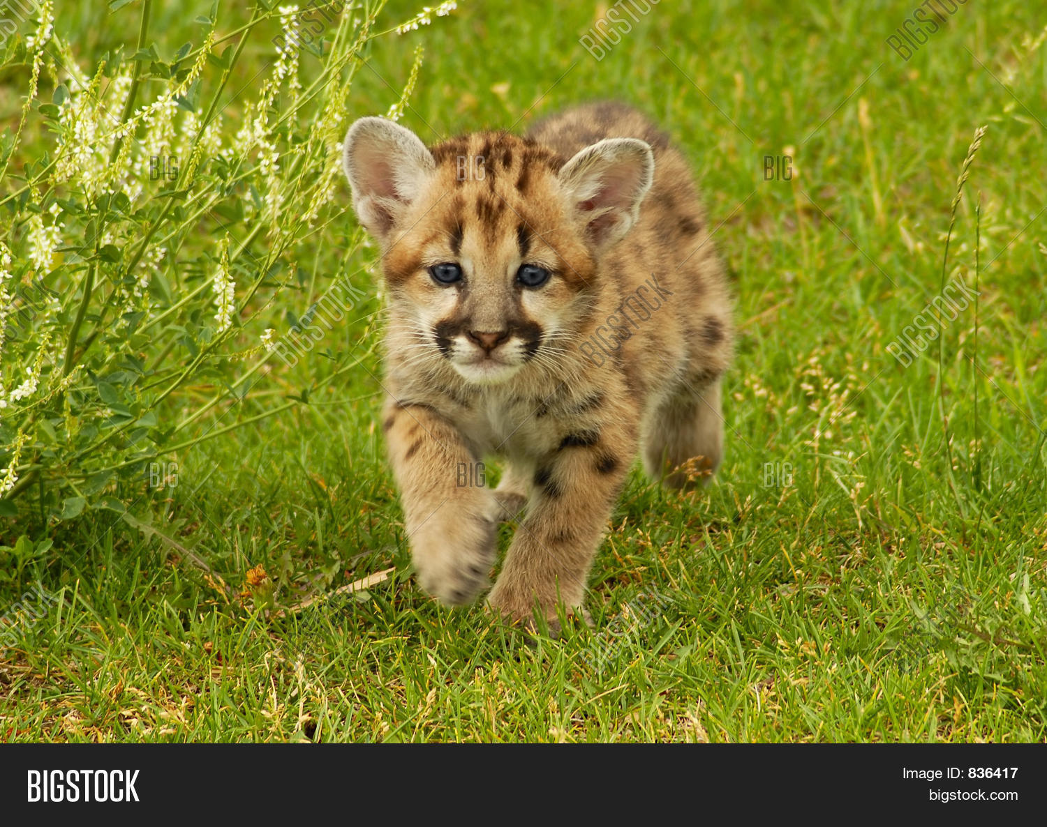 Baby Mountain Lion Image Amp Photo