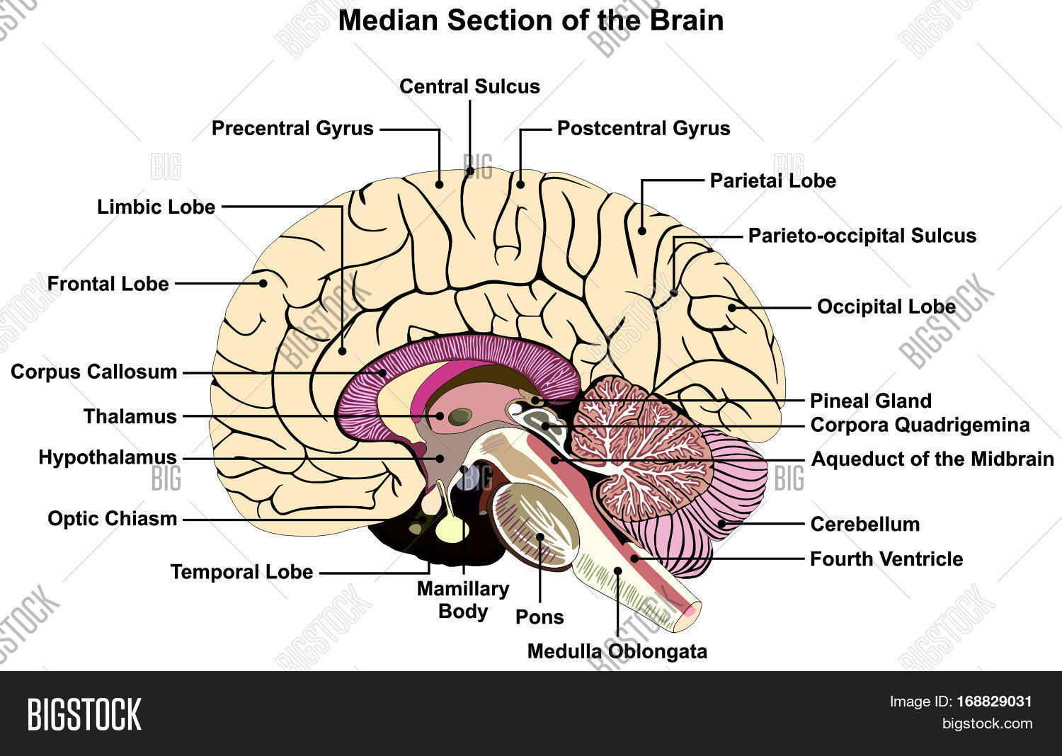 Median Section Human Brain Image Amp Photo