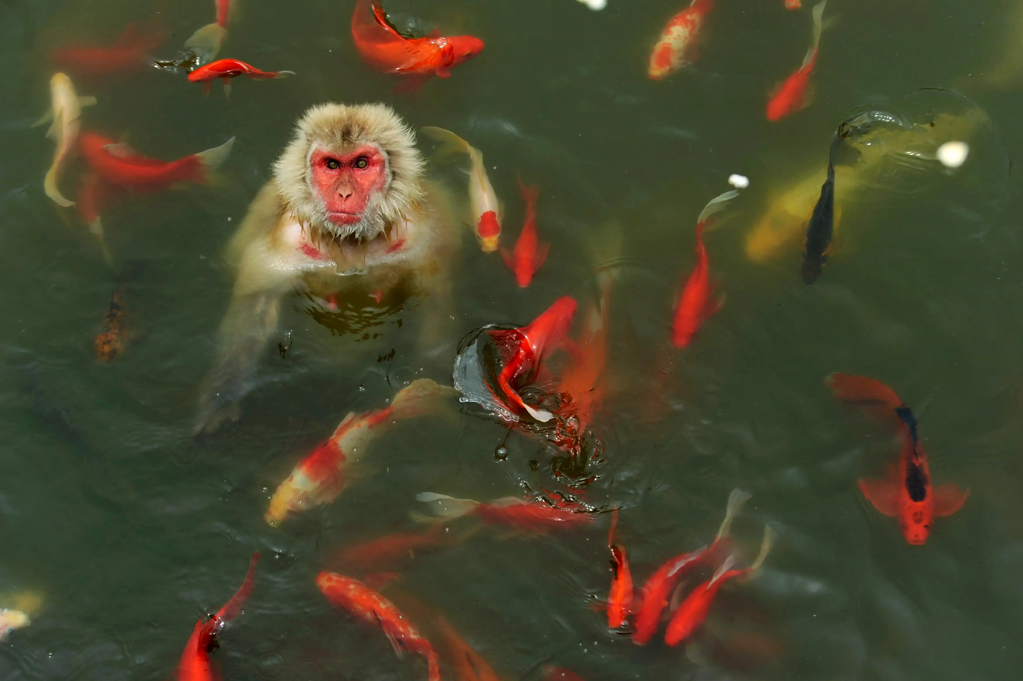 A monkey surrounded by carp plays in a pond at a wildlife park in China.