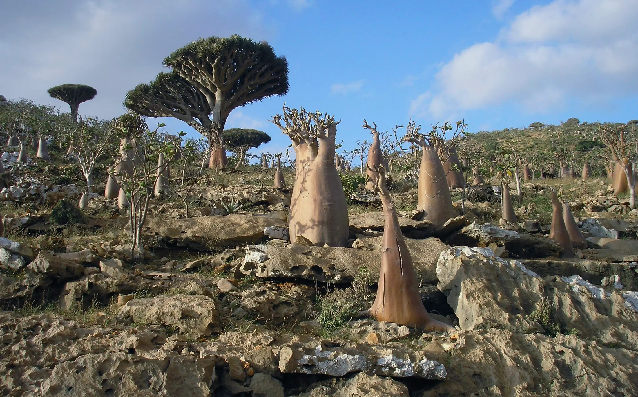 The tiny Yemeni archipelago of Socotra has very unique plant life, a third of which can be found nowhere else in the world.