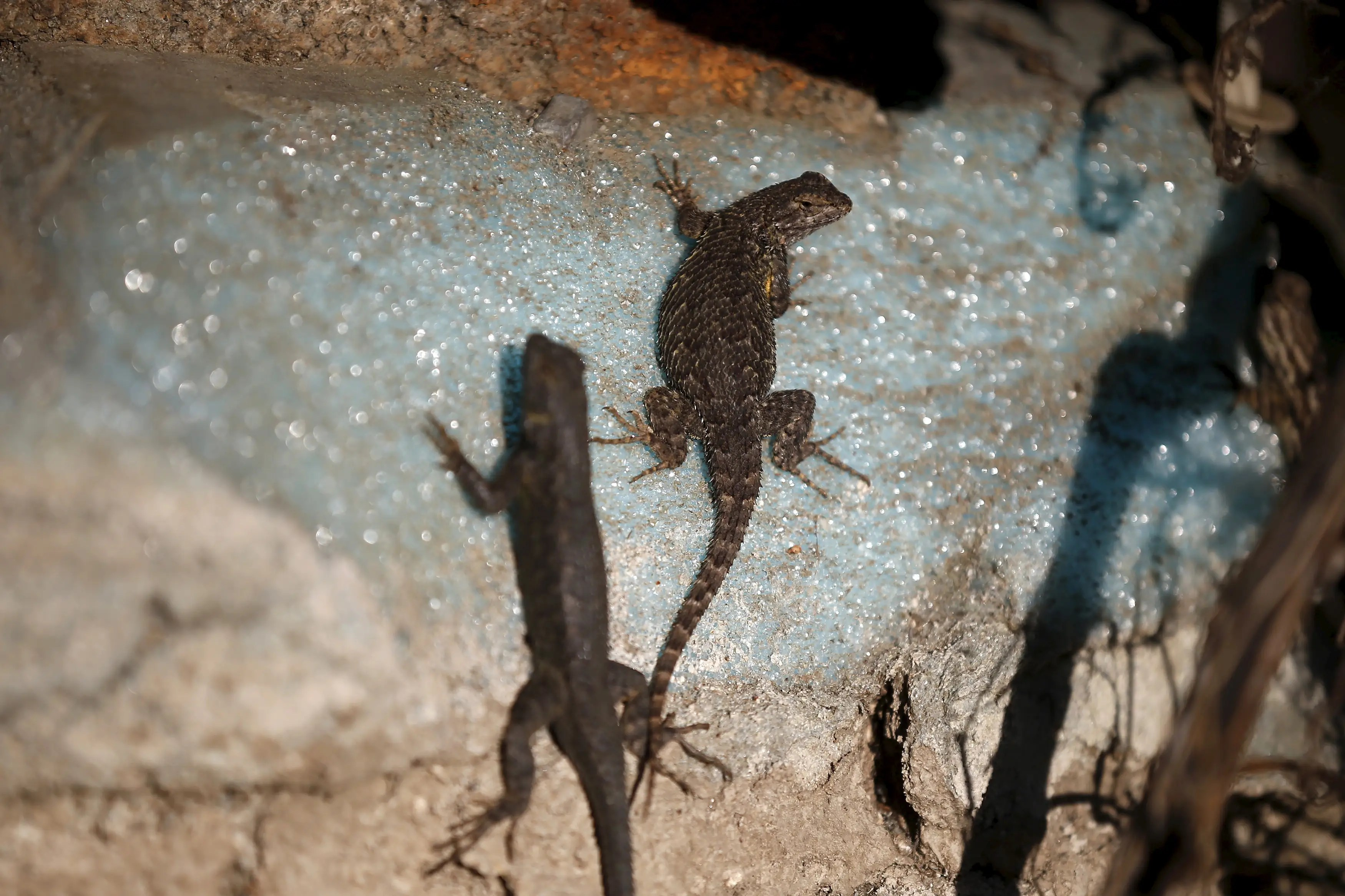 Lizards sun themselves on a dried out dock at Lake Cachuma in Santa Barbara, California.