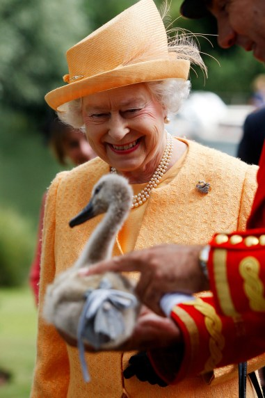 queen elizabeth ii swan upping cygnet