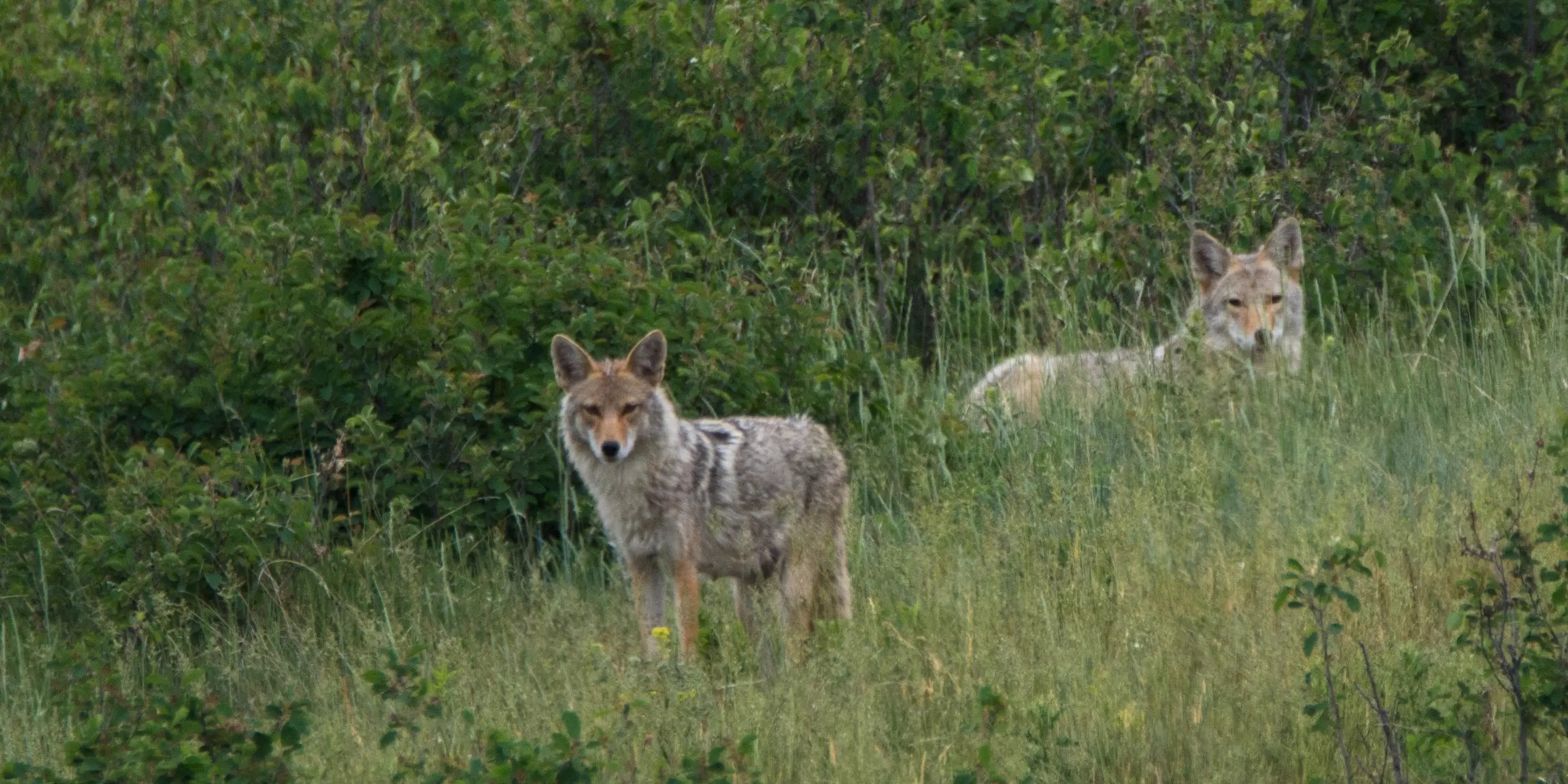 Image result for northeastern wolf-coyote hybrid in city