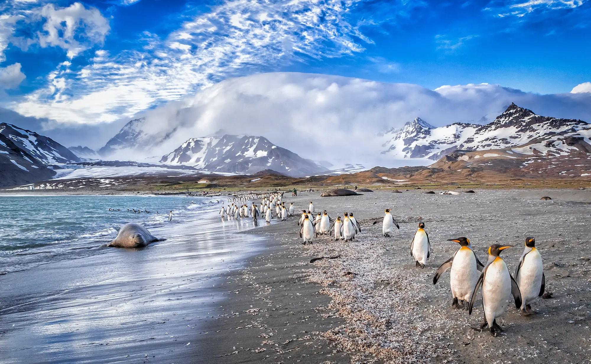 St Andrews Bay on South Georgia penguin seal beach shutterstock_438314467