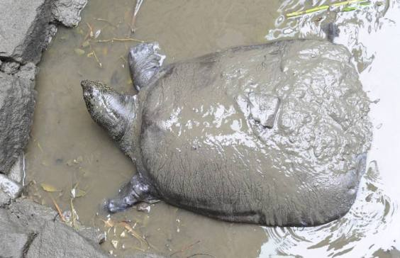 Resultado de imagen para tortuga de caparazon blando