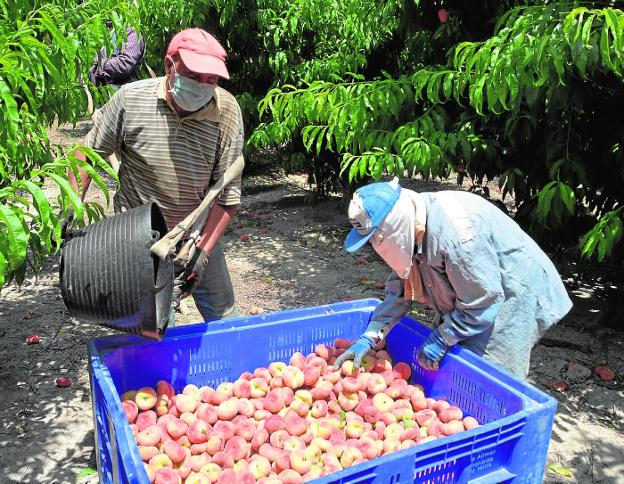 Two day laborers collect stone fruit on a farm in Cieza last Friday.