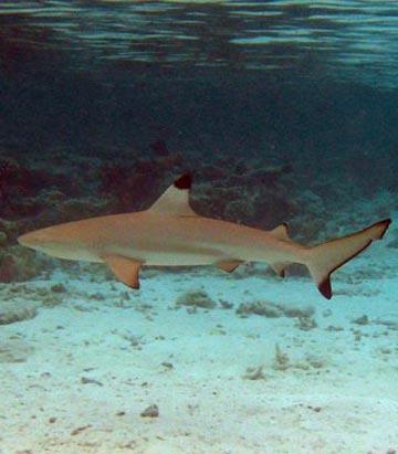 Black-tip shark