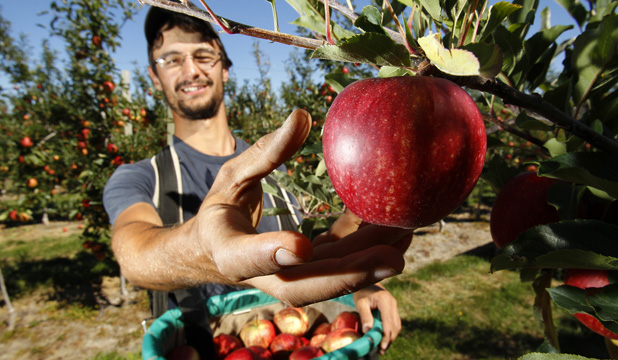Busy Season In The Apple Orchards Stuff Co Nz