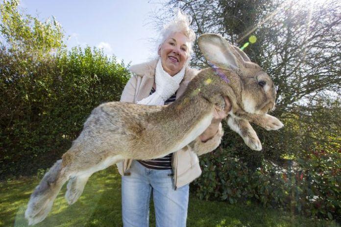Darius - chú thỏ lớn nhất trên thế giới.