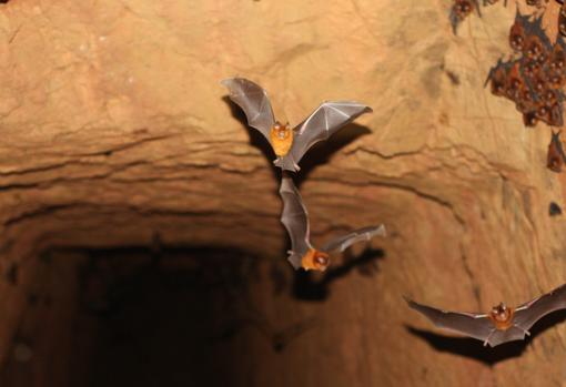 Members of a third new species of bat. A colony of what is apparently a new species of Hipposideros from an abandoned gold mine in western Kenya