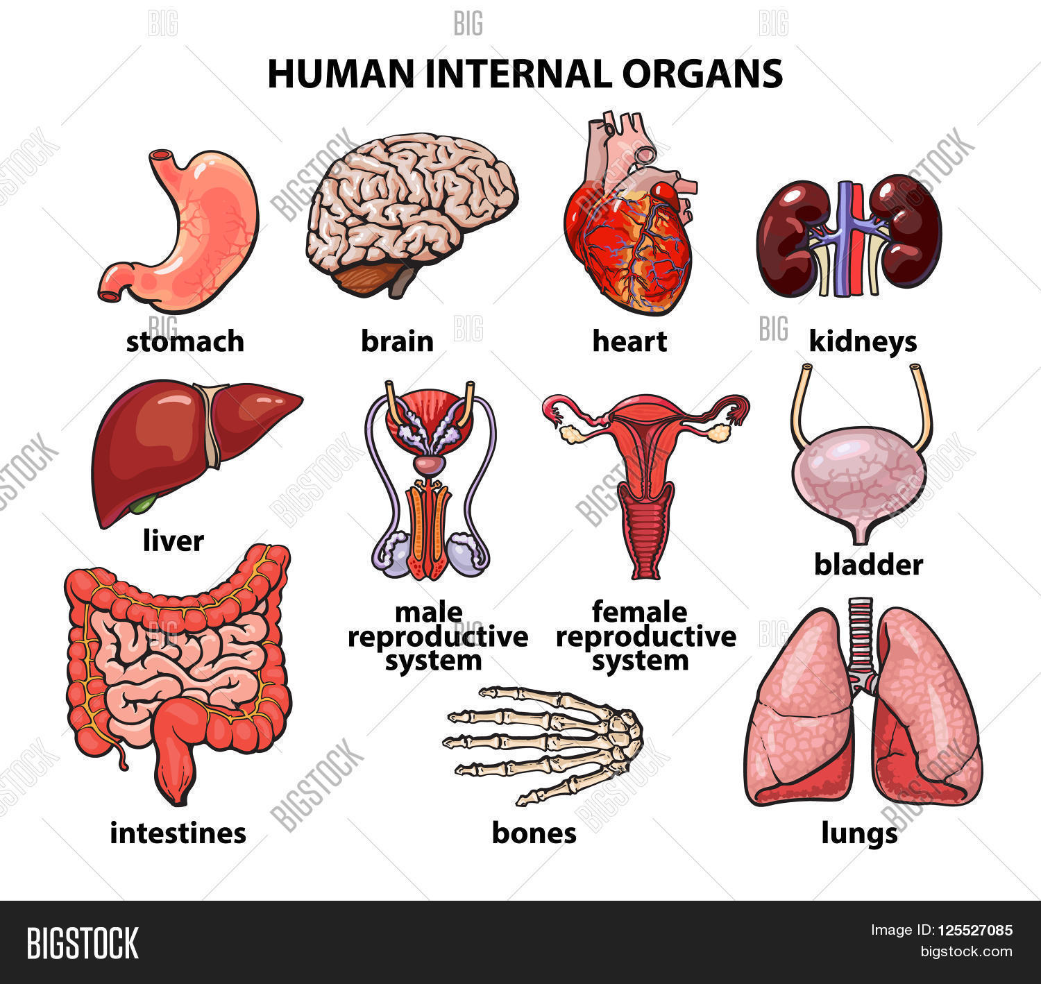 Human Organs Internal Organs Set Image Amp Photo