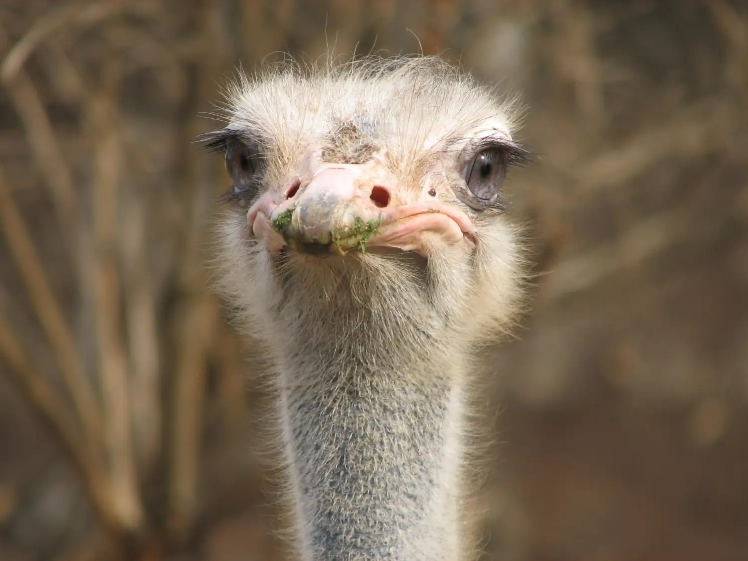 Ostriches do not stick their heads in the sand when threatened. Actually they don't bury their heads at all. When threatened, ostriches flop on the ground and play dead.