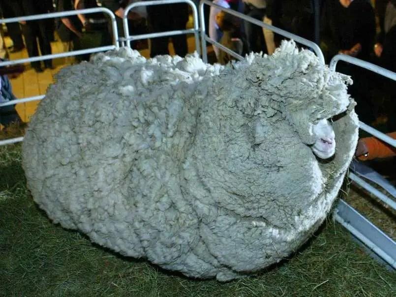 Shrek sheep