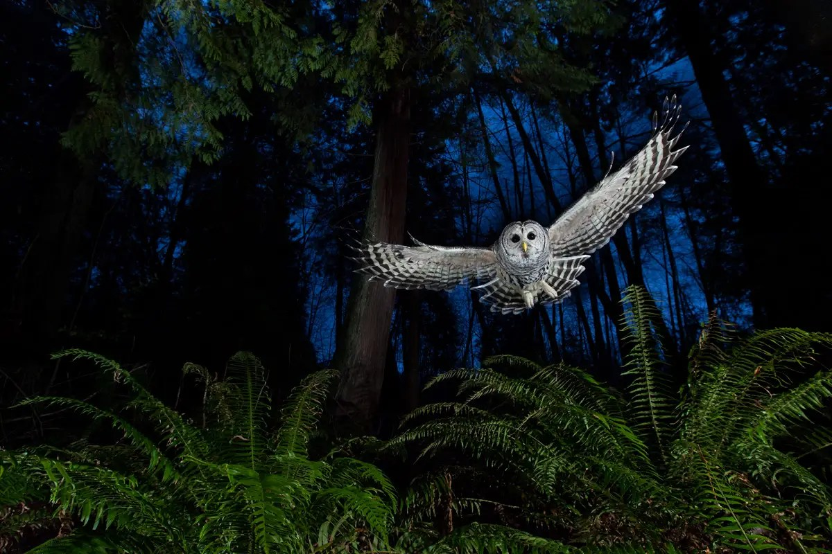 """The Flight Path"" — Stefanison was also recognized for his photo of a female barred owl swooping in front of red cedar trees and ferns in British Colombia."