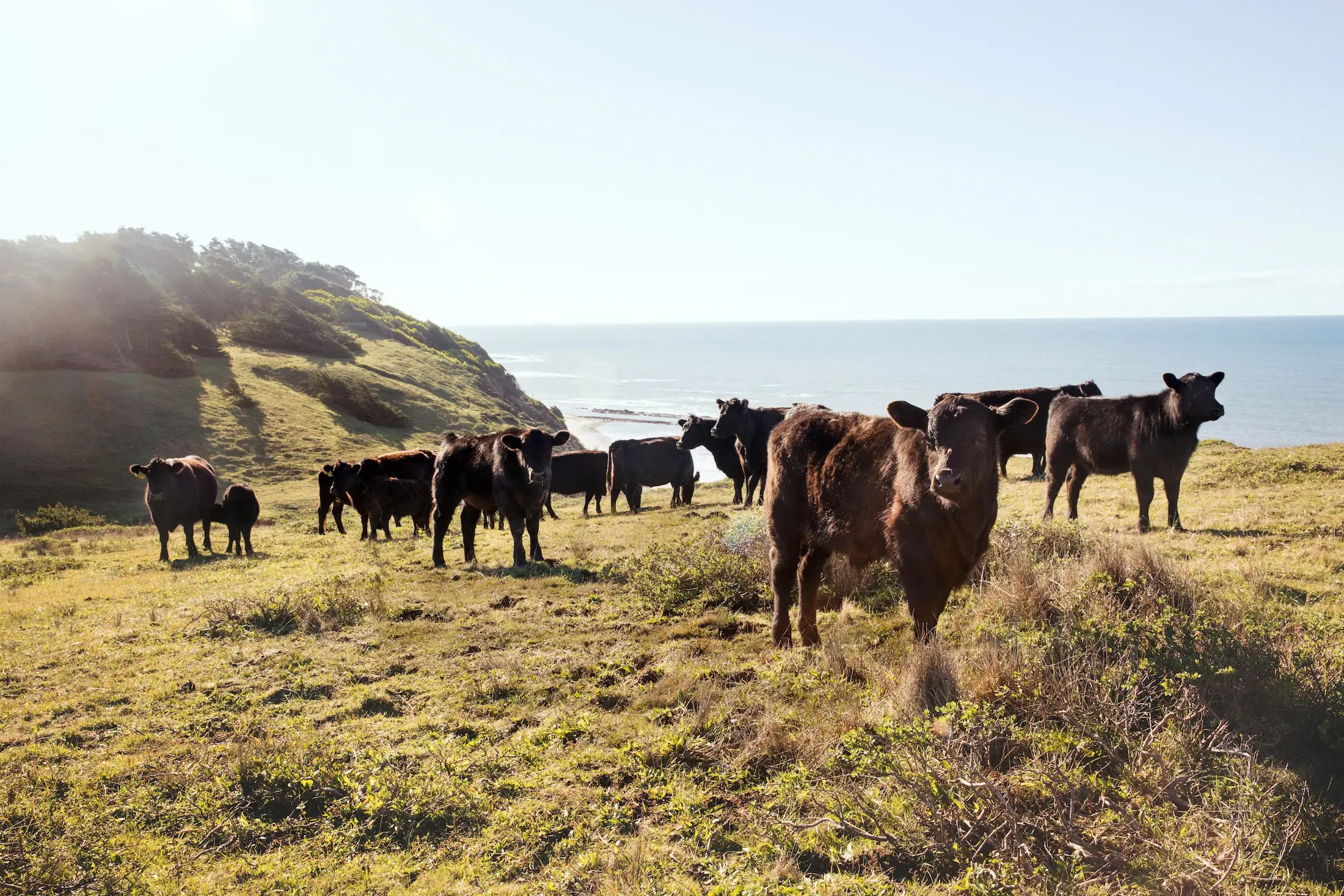 Though New Zealand is far from the US, Niman says ranches there can raise cattle at peak condition when it's wintertime in North America.