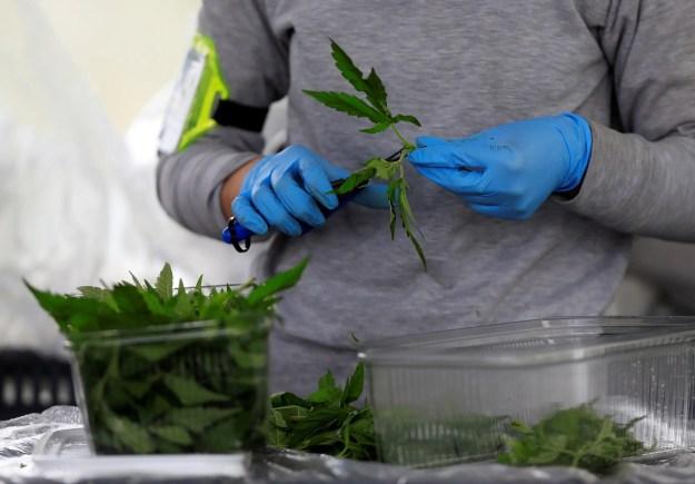 trimming cannabis marijuana weed plants.JPG