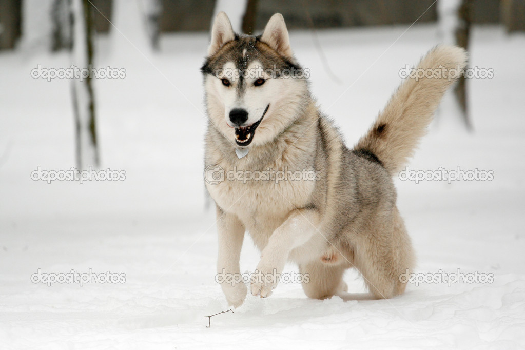huskies running in snow siberian running in snow