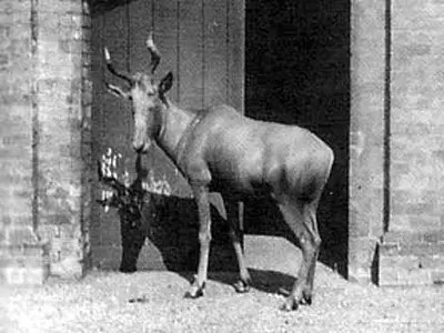 Bubal Hartebeest (Extinct since ~1954)