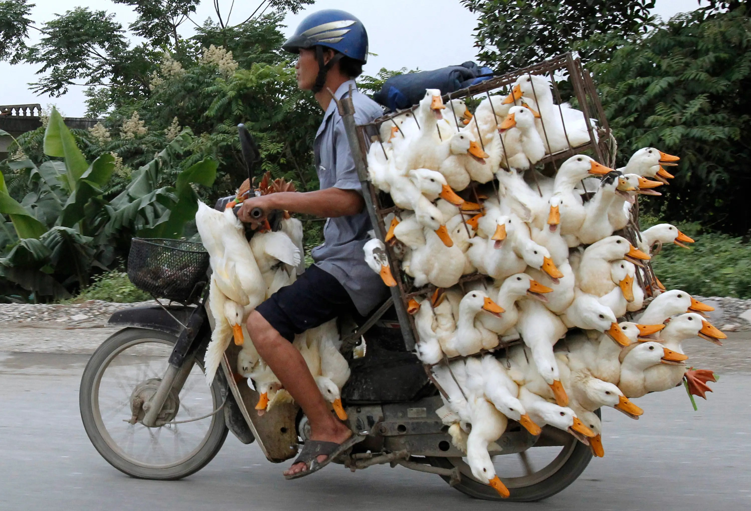For transporting a lot of ducks, a motorcycle works.