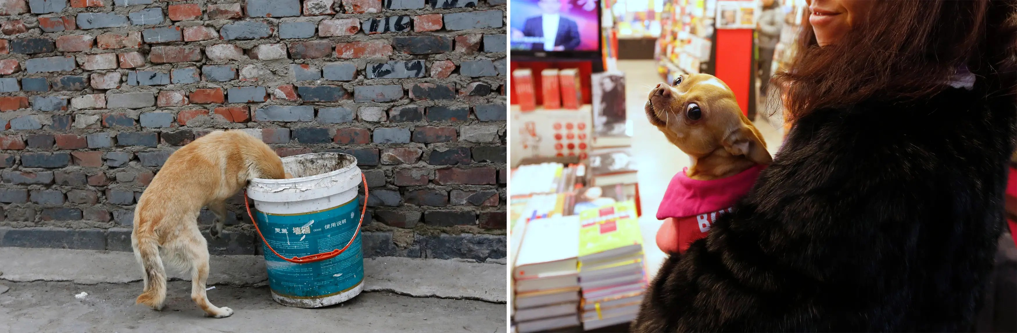 """""""(L) A dog rummaging for food in a garbage can at a residential area for migrant workers in Beijing and (R) A woman wearing a fur coat holding her pet dog at a book store inside an airport in Beijing."""""""