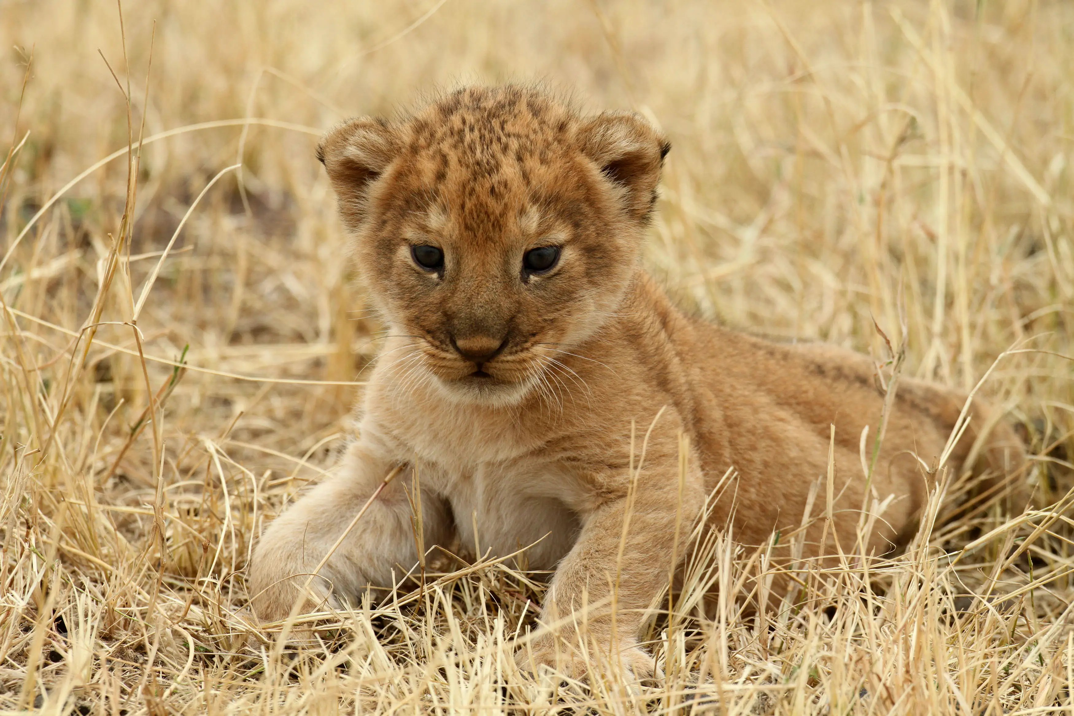 A lion cub rests at Tanzania's Serengeti National Park.