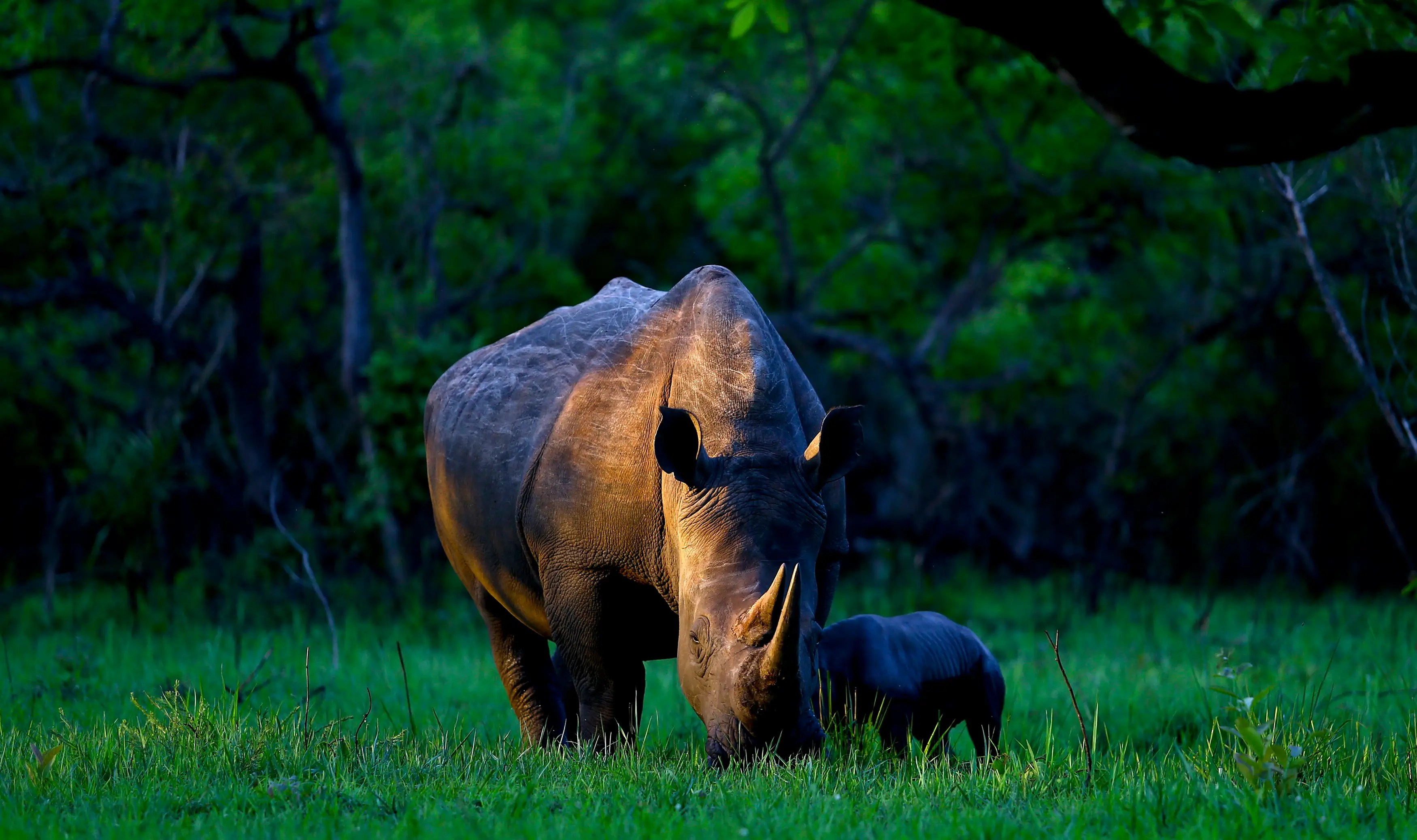 A southern white rhino named Bella eats with her day-old baby at Ziwa Rhino Sanctuary in central Uganda.