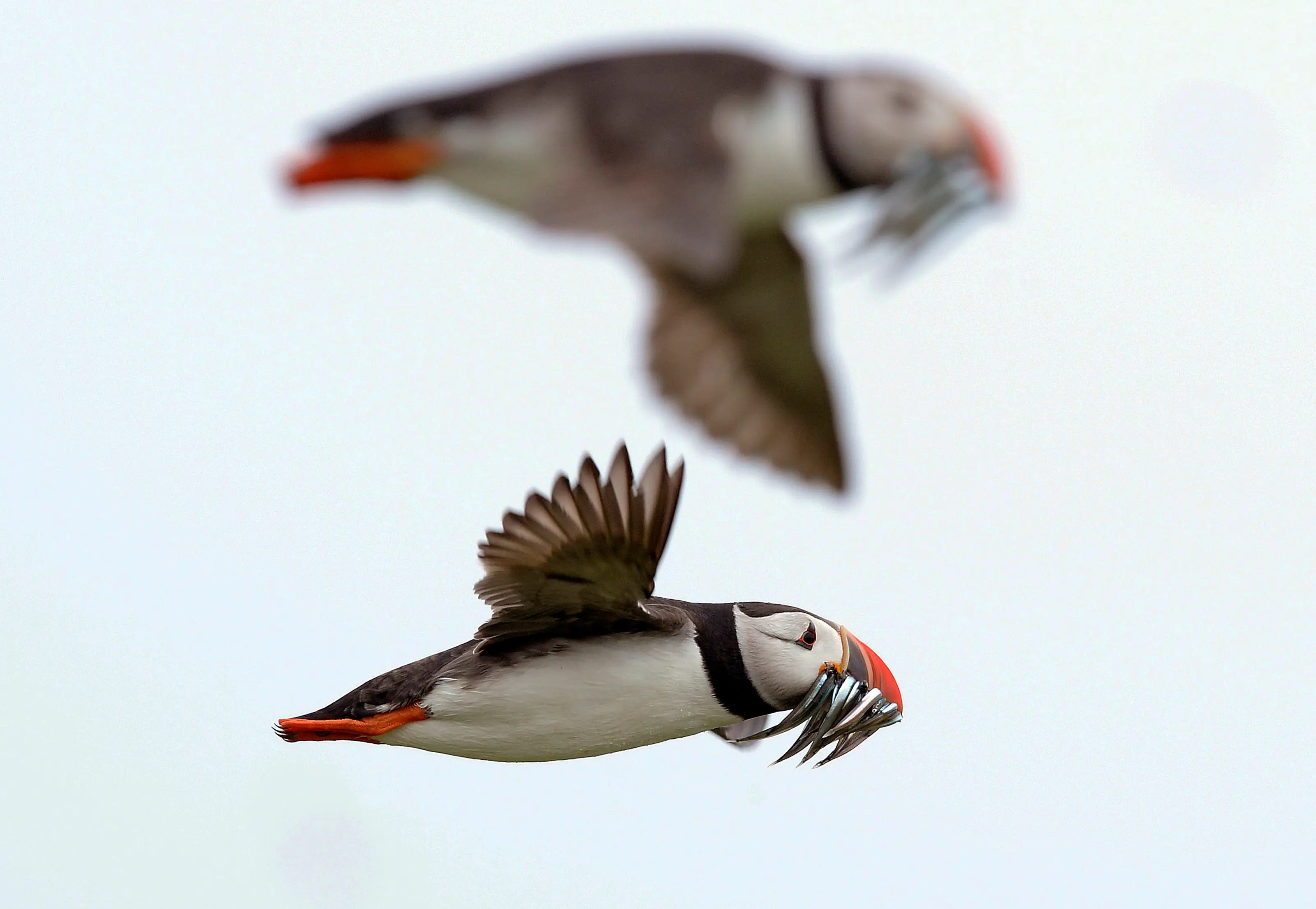 Puffins carry sand eels for their young as they fly above the Farne Islands off northern England.