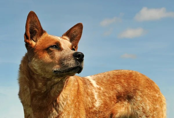 Queensland Shepherd Mix Australian Collie Border