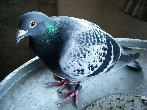 Racing-pigeons