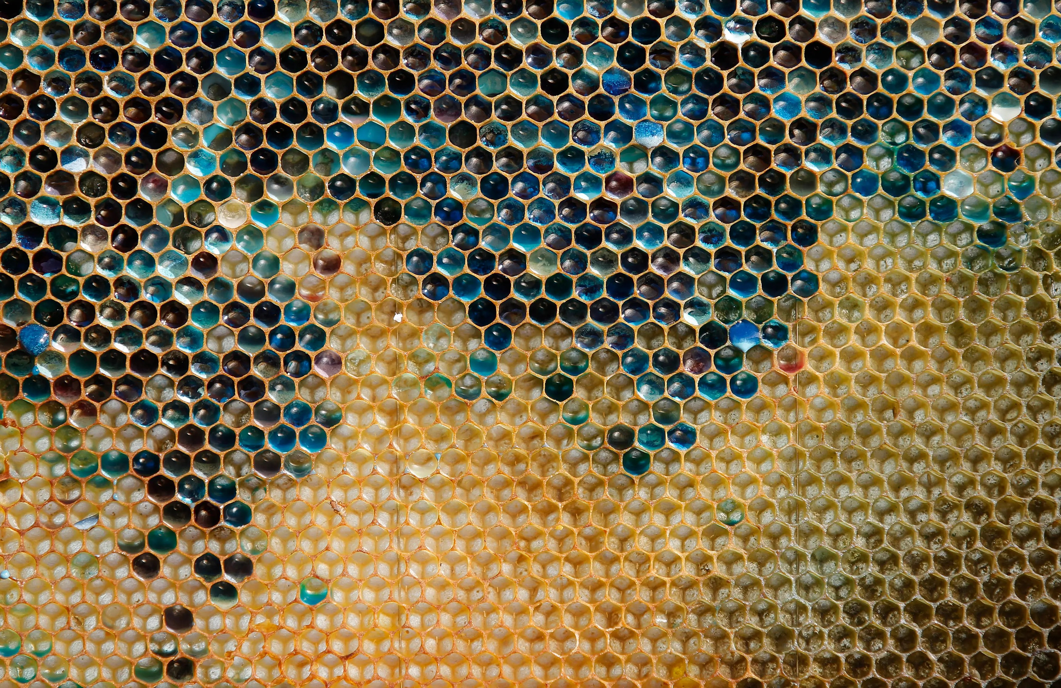 A bluish-colored honeycomb from a beehive is seen in eastern France. The unnatural shades were believed to be caused by residue from containers of M&M's candy processed at a nearby biogas plant.