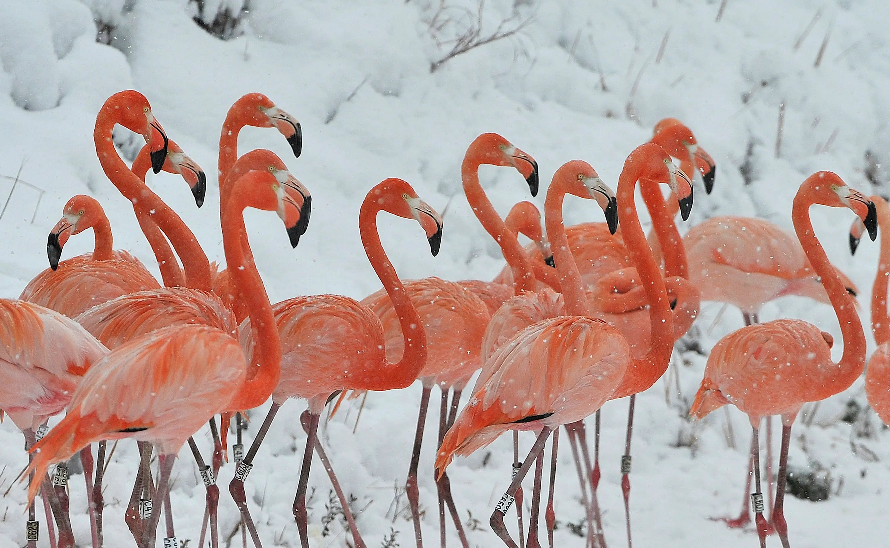 Snow falls on a flock of flamingos at a wildlife zoo in eastern China's Anhui province.