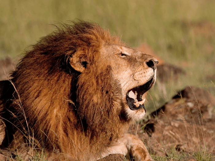 13. Lions: 22+ deaths a year