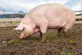 picture of fat pig  - Side view of a big pig on a farm - JPG