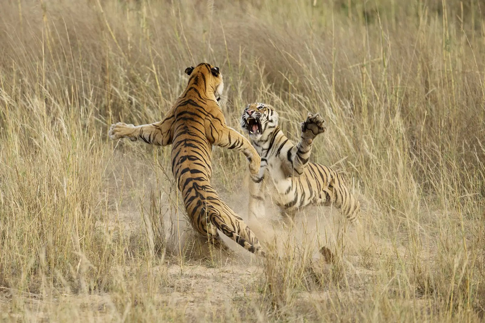 "This shot, ""Muscle Power,"" by Archna Singh, shot in the Bandhavgarh National Park in Madhya Pradesh, India, was an honorable mention in the 2014 National Geographic Photo Contest."