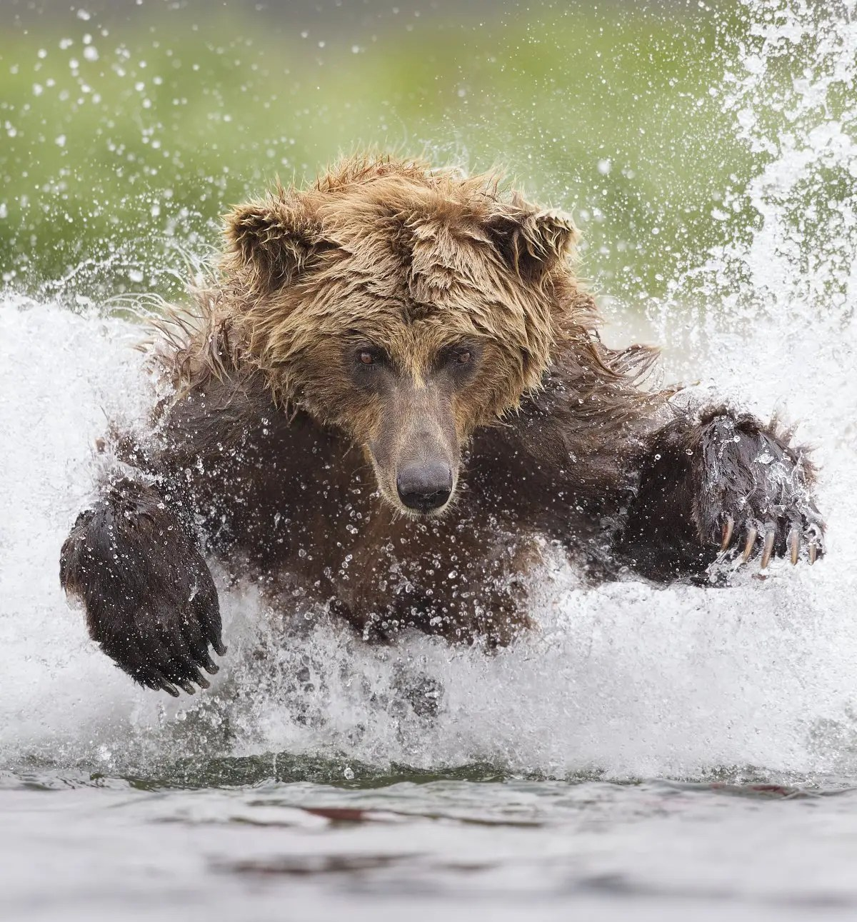 "Tin Man Lee won the Smithsonian's ""Nature's Best Photography"" competition with this shot from Alaska's Katmai National Park of a Grizzly Bear pouncing through icy waters."
