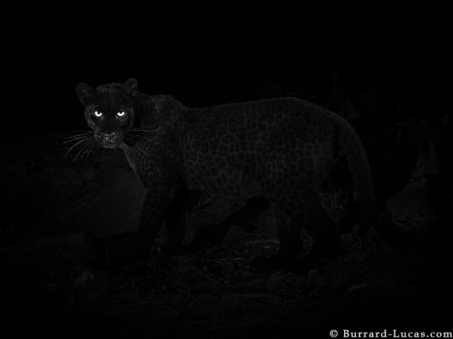 Black leopard in Africa