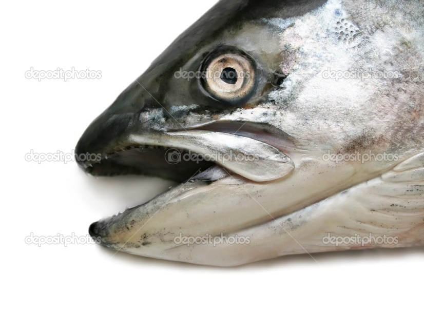 Blackmouth Salmon, Chinook salmon, Oncorhynchus tshawytscha
