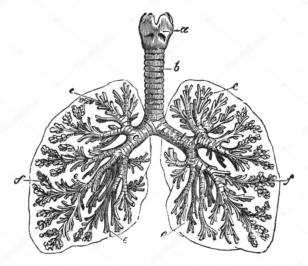 The Lungs Of Man Vintage Engraving