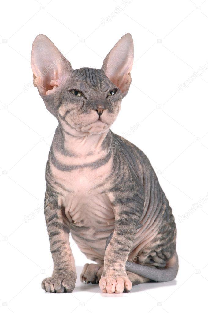 couleur de tortue pour le chaton sphynx photographie grase