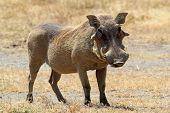 picture of wild hog  - A warthog  - JPG