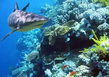 At Fiji Shark Camp, students scuba and snorkel next to the sharks.