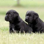 Black Lab Puppies Wallpaper Black Labrador Puppies Stock Photo C Okeanas 8518969