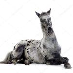Appaloosa Horse Stock Photo C Lifeonwhite 10870708