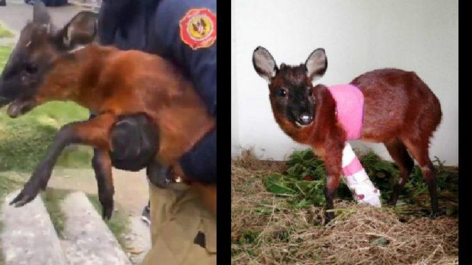Le amputaron la pata al venado que rescataron en Bogotá
