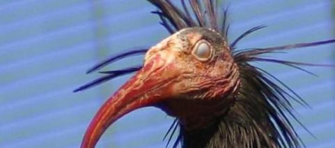 Resultado de imagem para passaro ibis futebol
