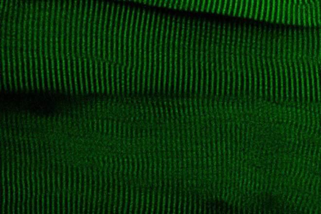 Tejido muscular de ratón modificado con el módulo fluorescente HaloTag-TEV