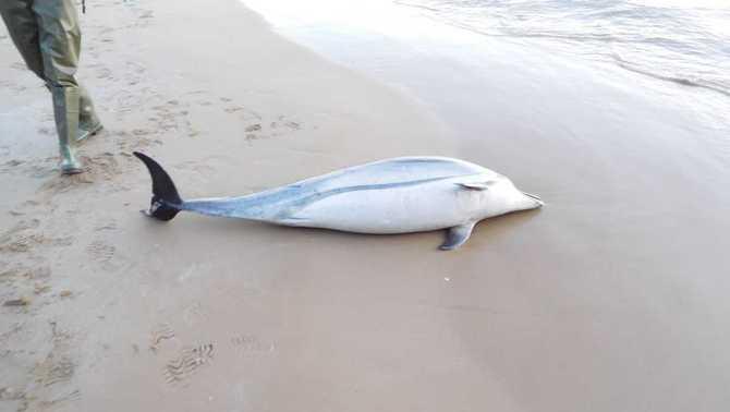 Troben un dofí mort a la platja de Salou
