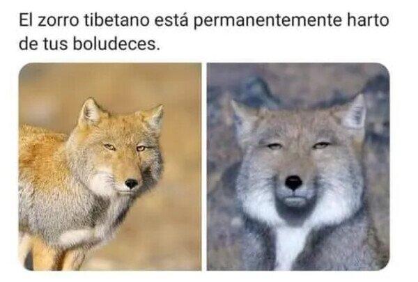 Deja de decepcionar al zorro tibetano