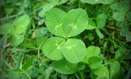 How Probability Theory Can Help You Find More Four-Leaf Clovers