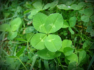 Photograph of a four-leaf clover.